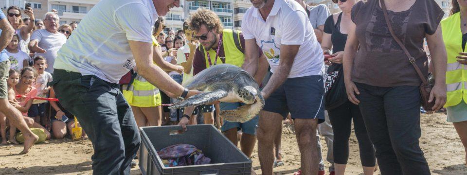Dos tortugas regresan al mar en la playa de Las Canteras tras rehabilitarse en el Centro de Recuperación de Fauna Salvaje de Gran Canaria